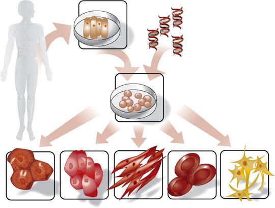 Có nhiều cách để tạo ra tế bào gốc từ cơ thể người.